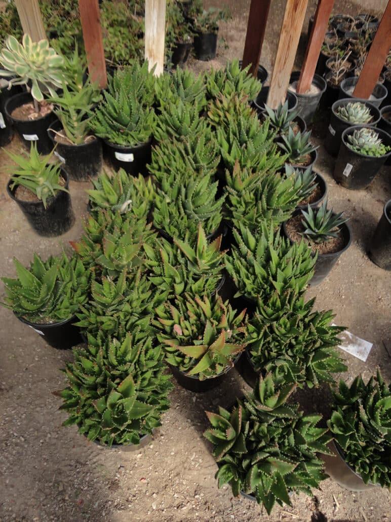 Succulents Amp Cacti 183 Cacti Landscapes Las Vegas