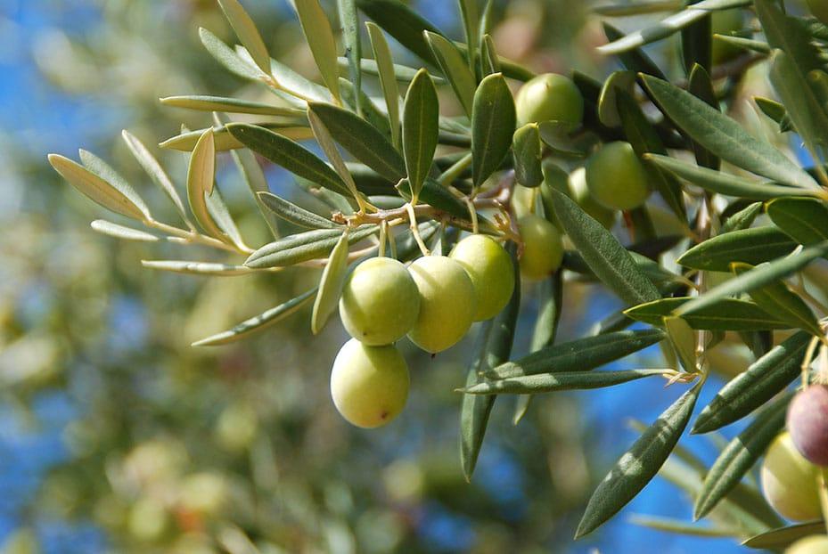 olive tree spraying box